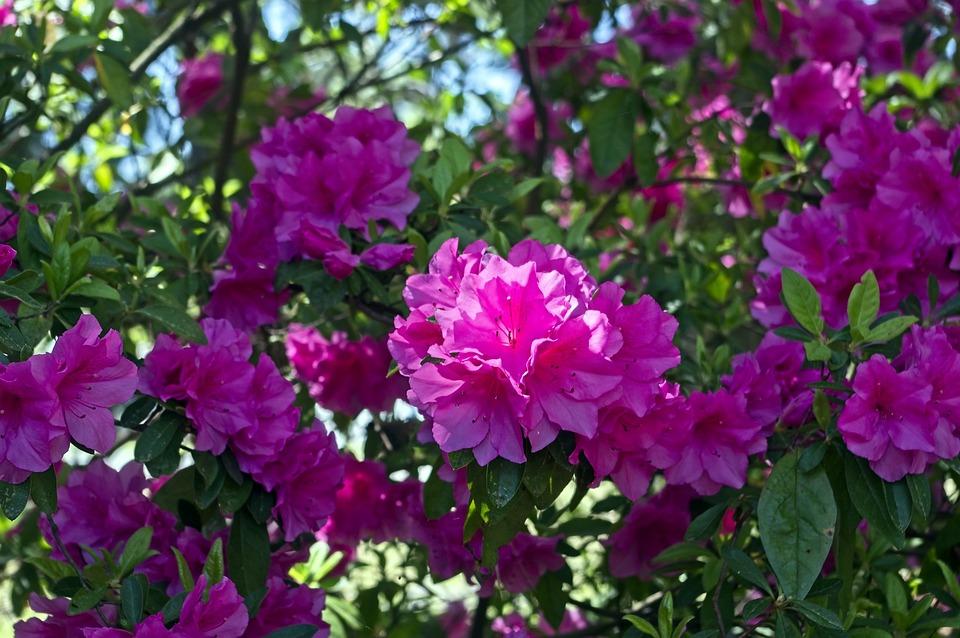 Azaleas In Pink Splendor, Blossoms, Azalea, Bloom
