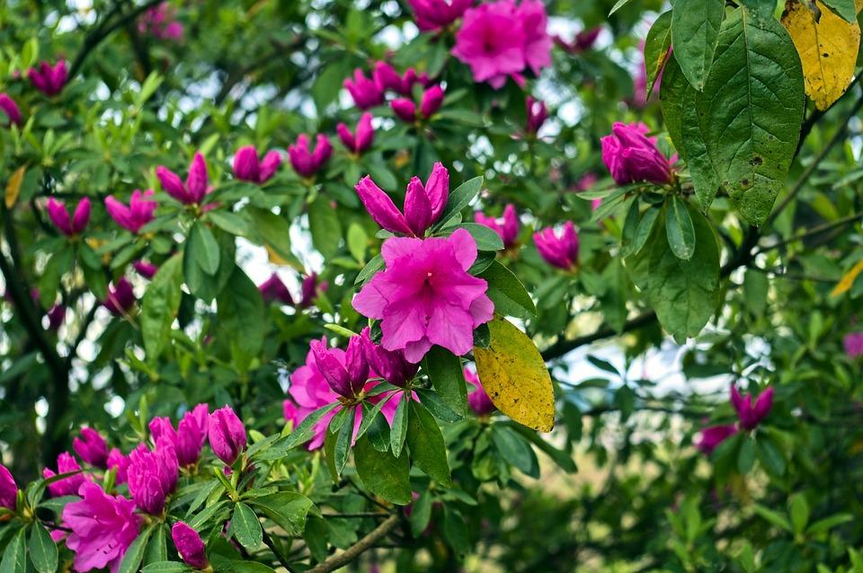 Azaleas In The Ozark Mountains, Blossoms, Azalea, Bloom