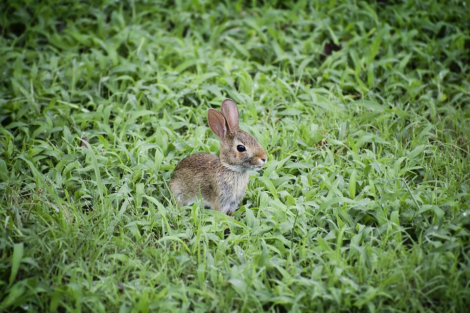 Baby Bunny, Baby Rabbit, Bunny, Rabbit, Cute, Baby