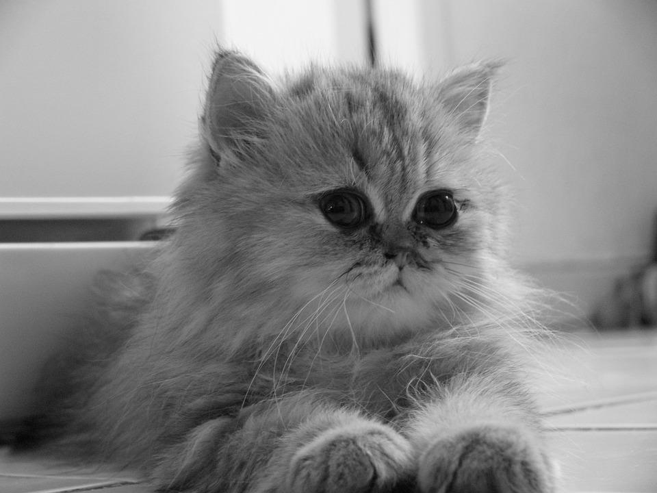 Baby Cat, Persian Chinchila, Persian Golden