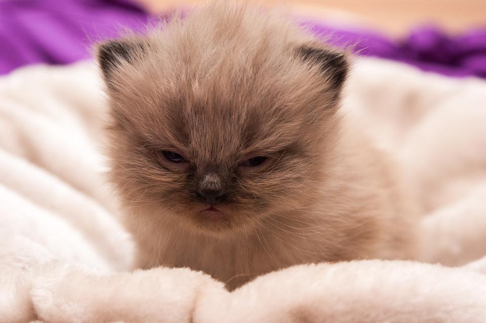 Cat Baby, Persians, Cat, Baby