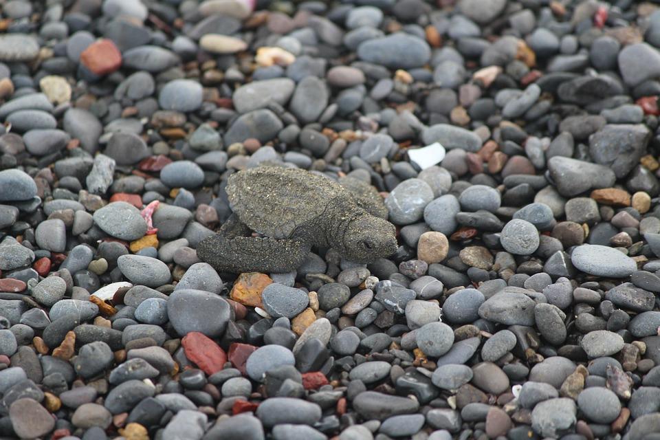 Turtle, Baby, Costa Rica