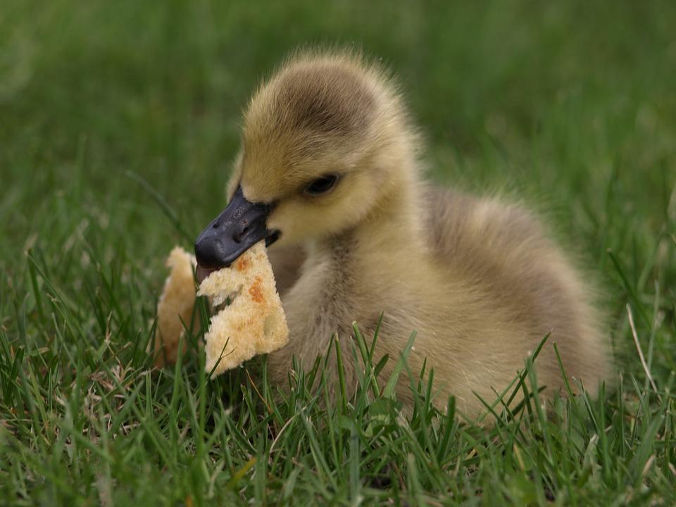 Duck, Duckling, Bread, Eating, Cute, Yellow, Baby, Beak