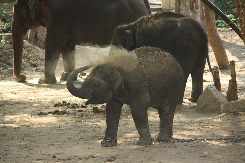 Baby Elephant, Kid, Calf, Elephant, Baby, Animal, Cute