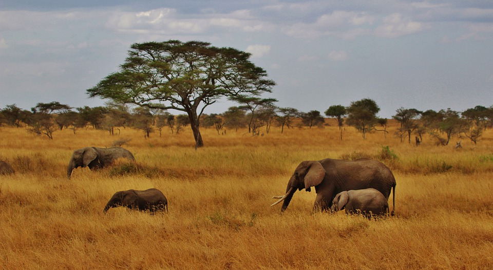 Elephants, Baby Elephant, Elephant Herd, Tanzania