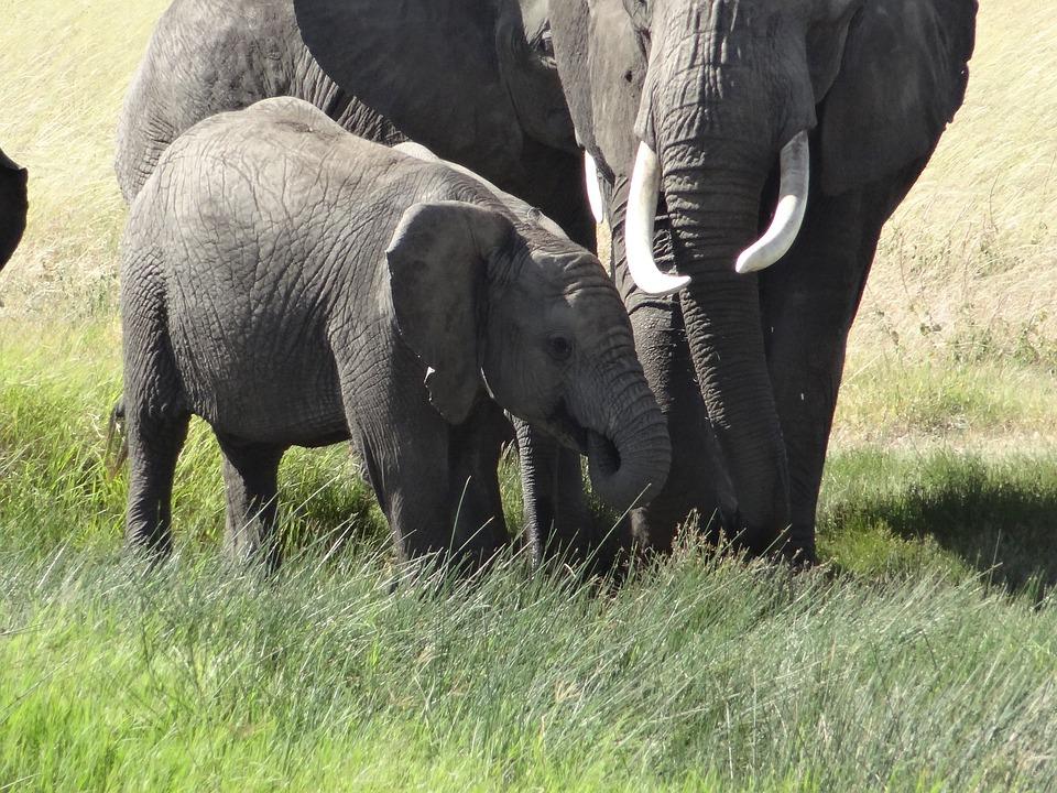 Baby Elephant, Mom, Grass