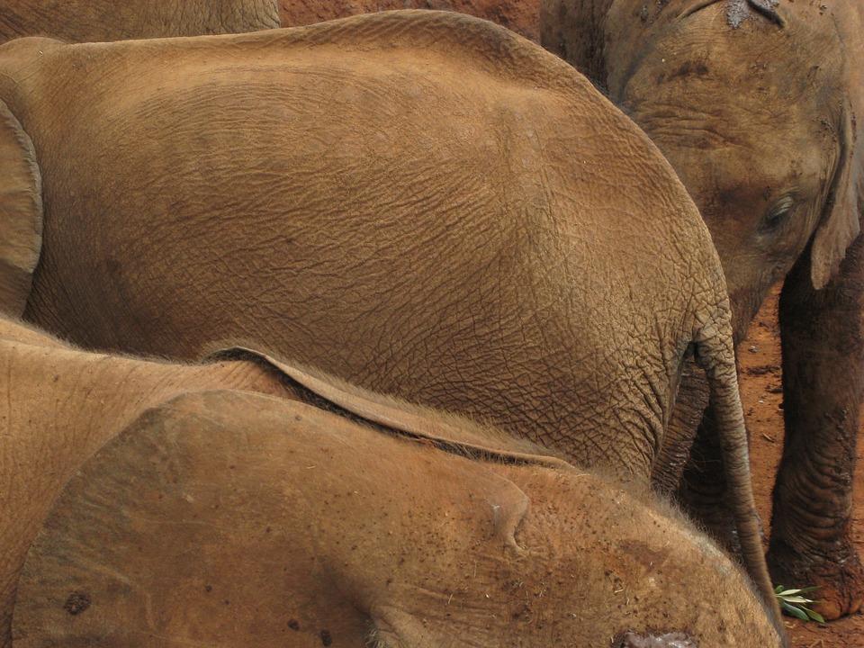 Elephant, Orphan, Baby, Wildlife, Young, Kenya, Game