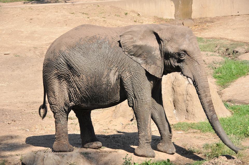 Elephant, Zoo, Elephants, Animal, Africa, Baby
