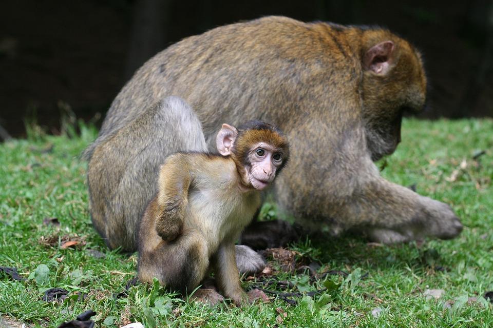 Monkey, Baby, Nature, Forest, Enclosure, äffchen