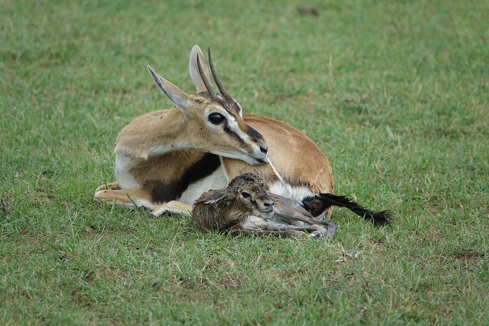 Mammal, Wildlife, Animal, Grass, Nature, Gazelle, Baby