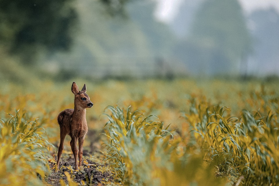 Deer, Animal, Lovely, Baby, Nature, Field