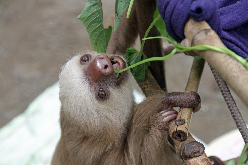 Sloth, Arboreal, Mammals, Baby, Nature, Animal, Fauna