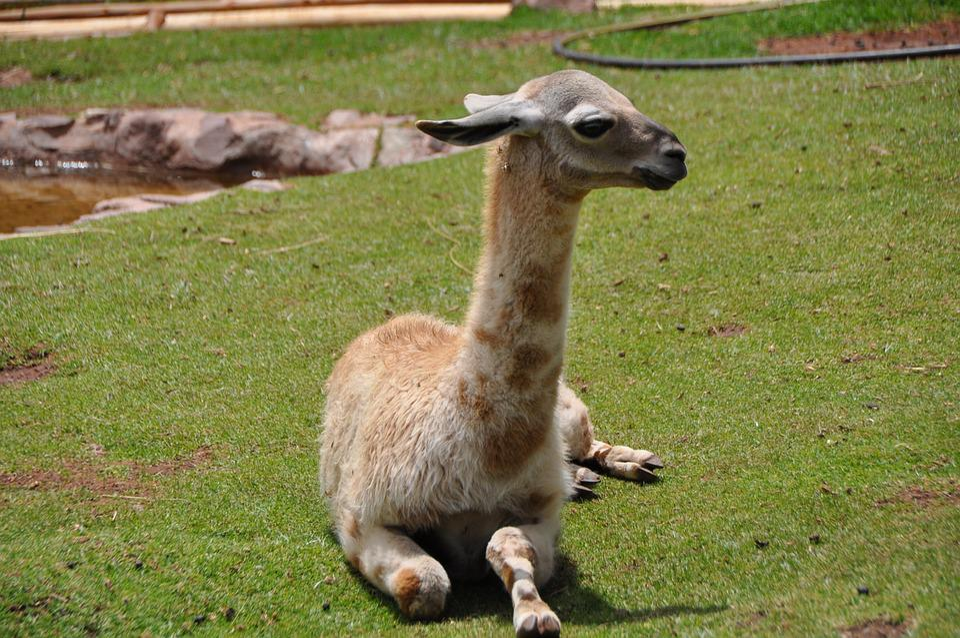 Lama, Andes, Inca, South, America, Peru, Baby, Alpaca