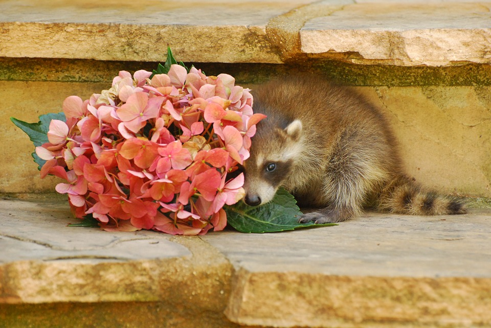 Wild Life, Baby Raccoon, Animal, Nature, Pets, Cute