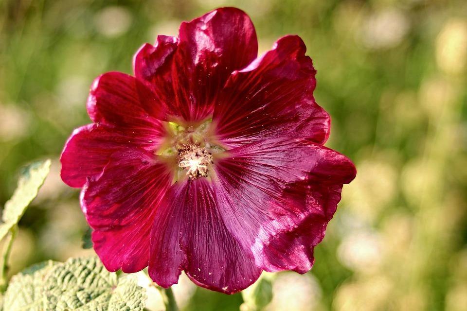 Stock Rose, Alcea Rosea, Baby Rose, Mallow, Hollyhock
