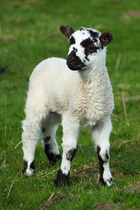 Animal, Baby, Cute, Field, Grass, Lamb, New, Sheep