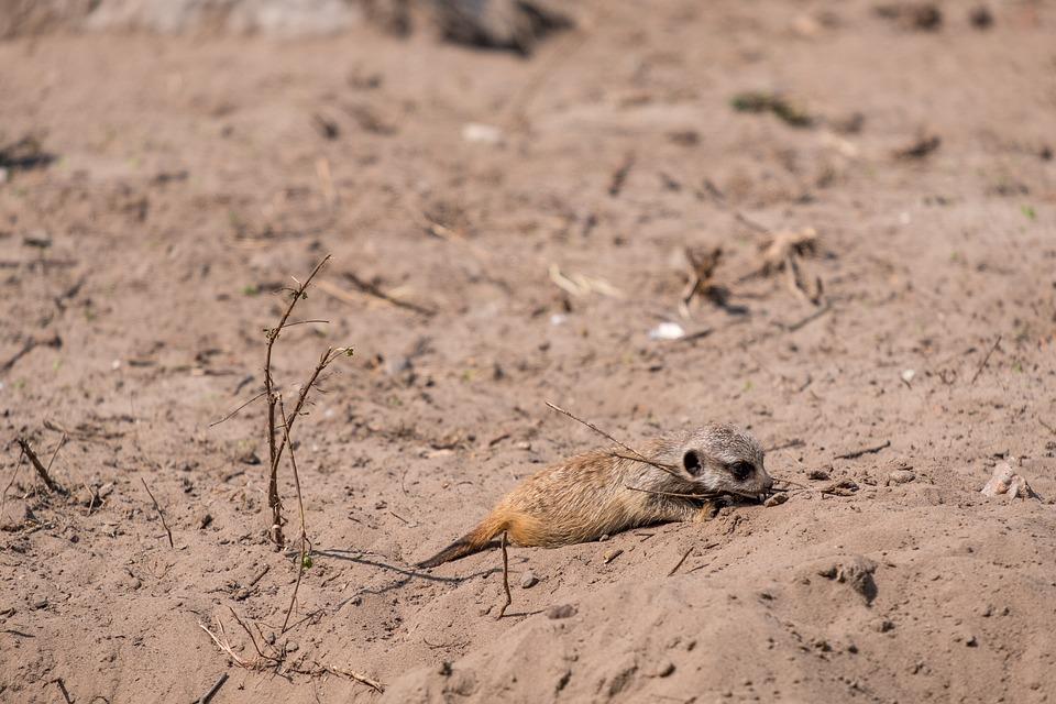 Meerkat, Baby, Young Animal, Suricata, Suricatta