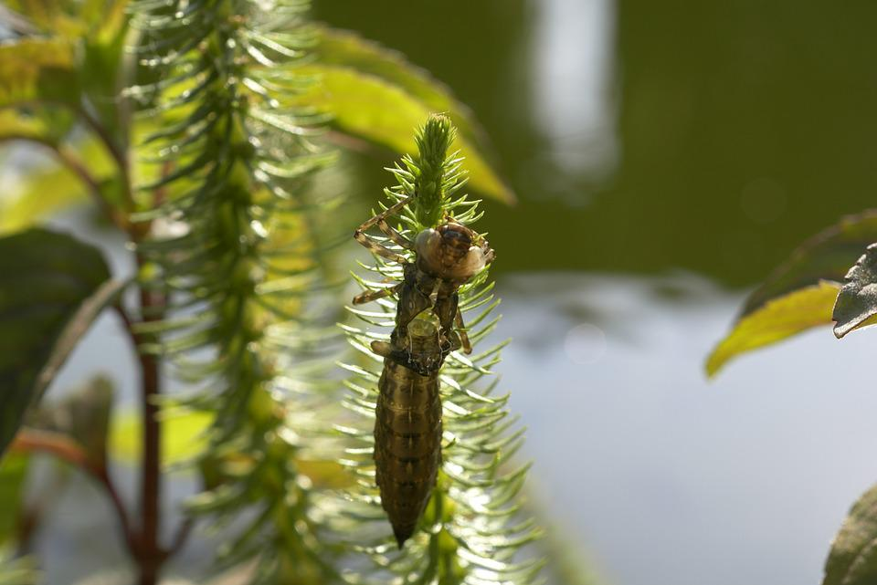 Winged Insects, Dragonfly, Baby, The Nature Of The