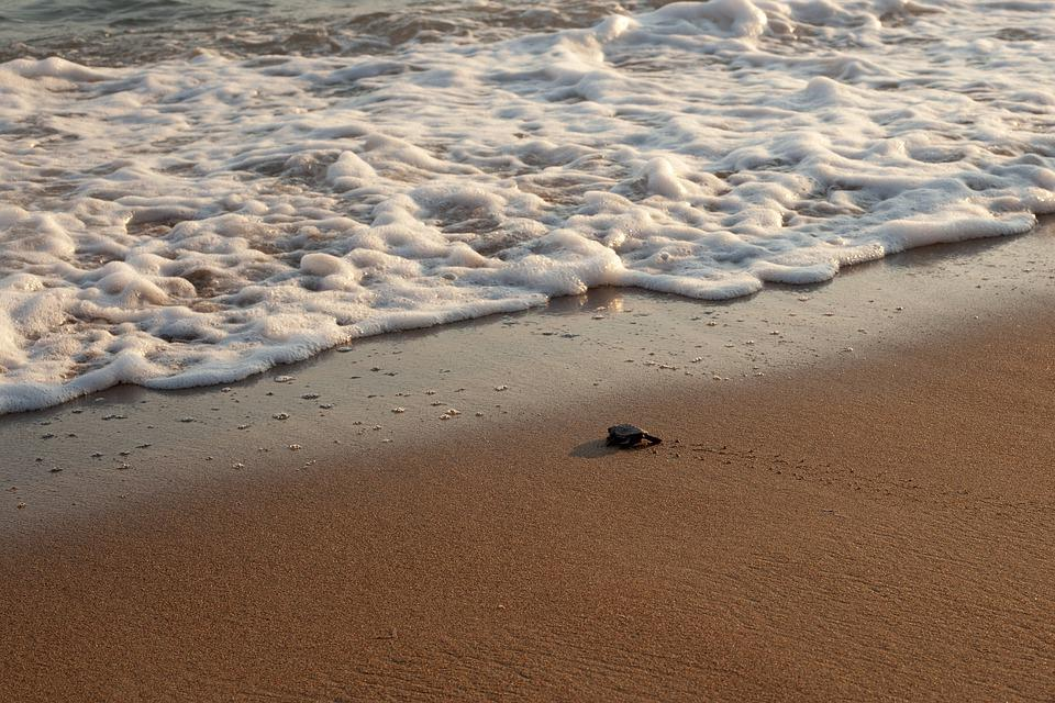 New Life, Turtle, Baby Turtle, Beginnings, Leaving Home