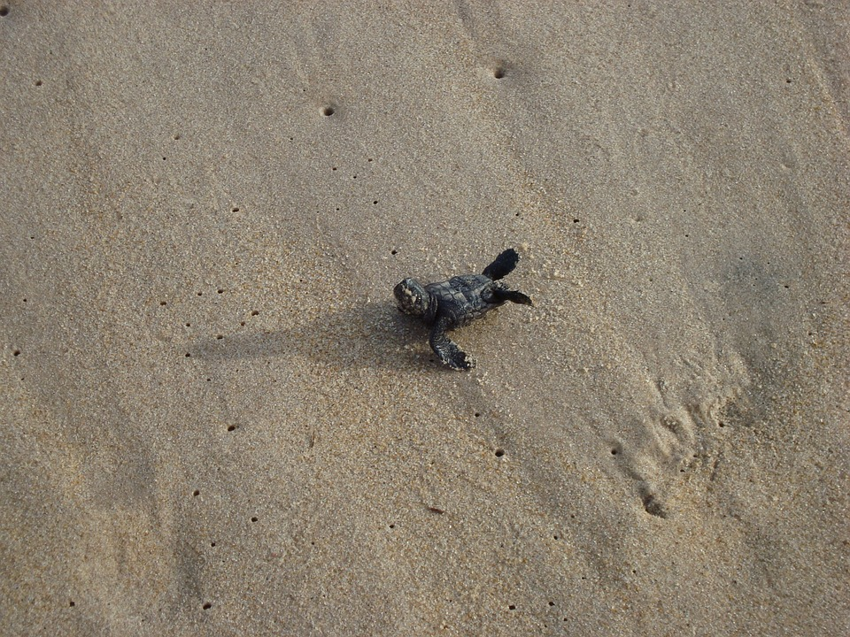 Turtle, Baby, Sand