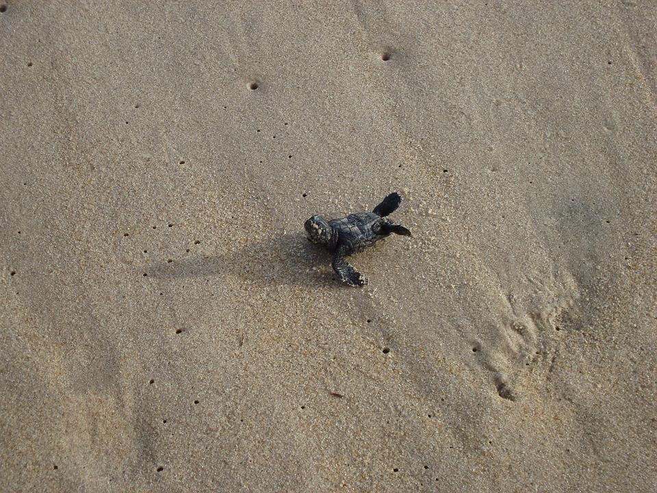 Turtle, Baby, Sand