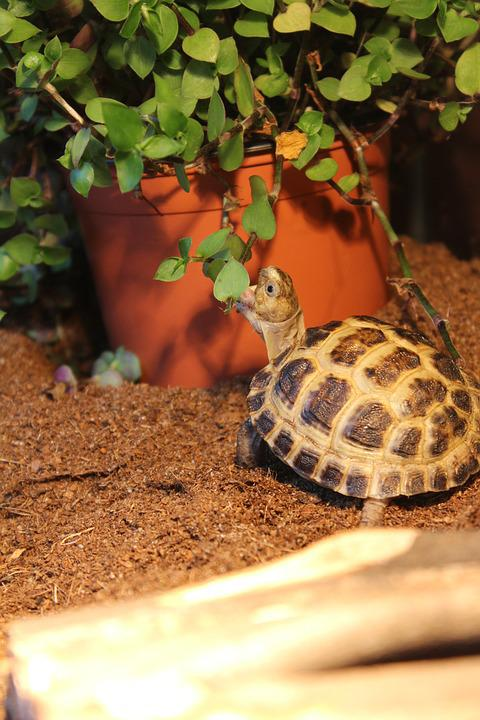 Turtle, Baby, Animal, Tortoise, Cute, Shell