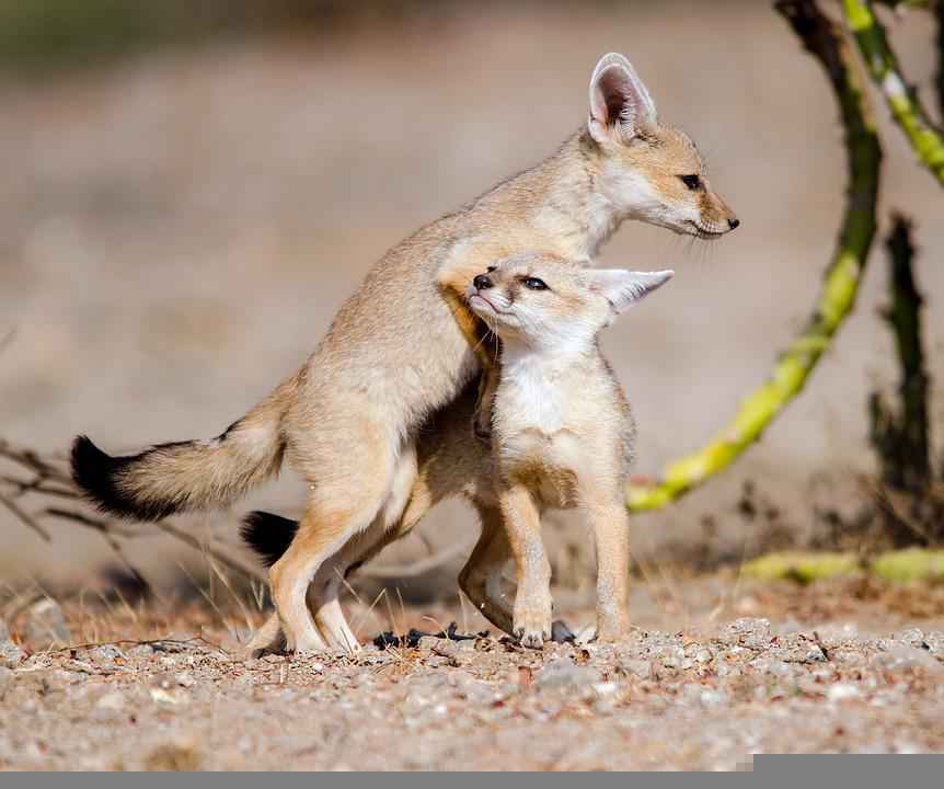 Fox, Baby, Cute, Animal, Nature, Wildlife, Fuchs, Wild