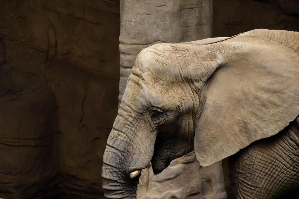 Elephant, Zoo, Animal, Head, Mammal, Baby, Family