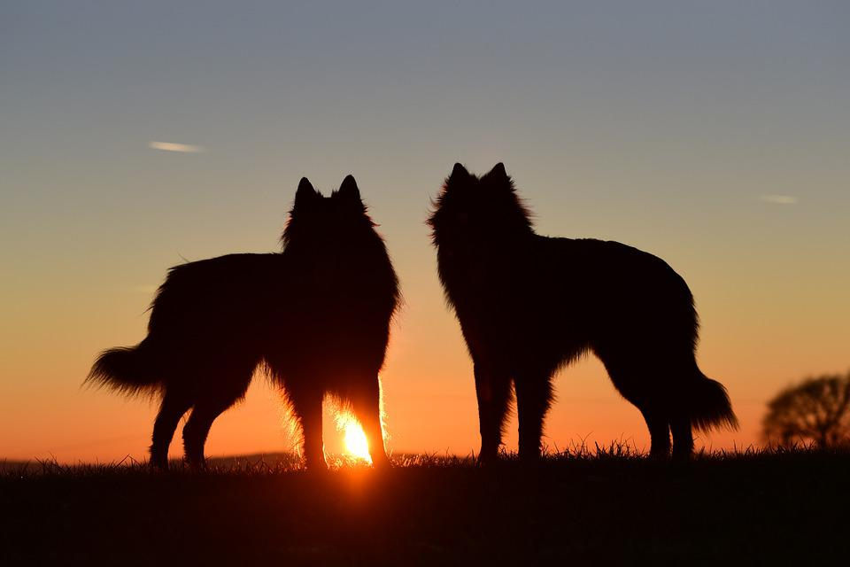 Dogs, Sunset, Abendstimmung, Back Light, Standing Dog