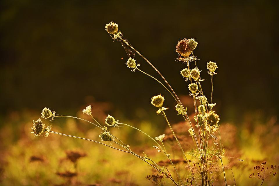 Grass, Seed Head, Stem, Back Light, Golden, Sunshine