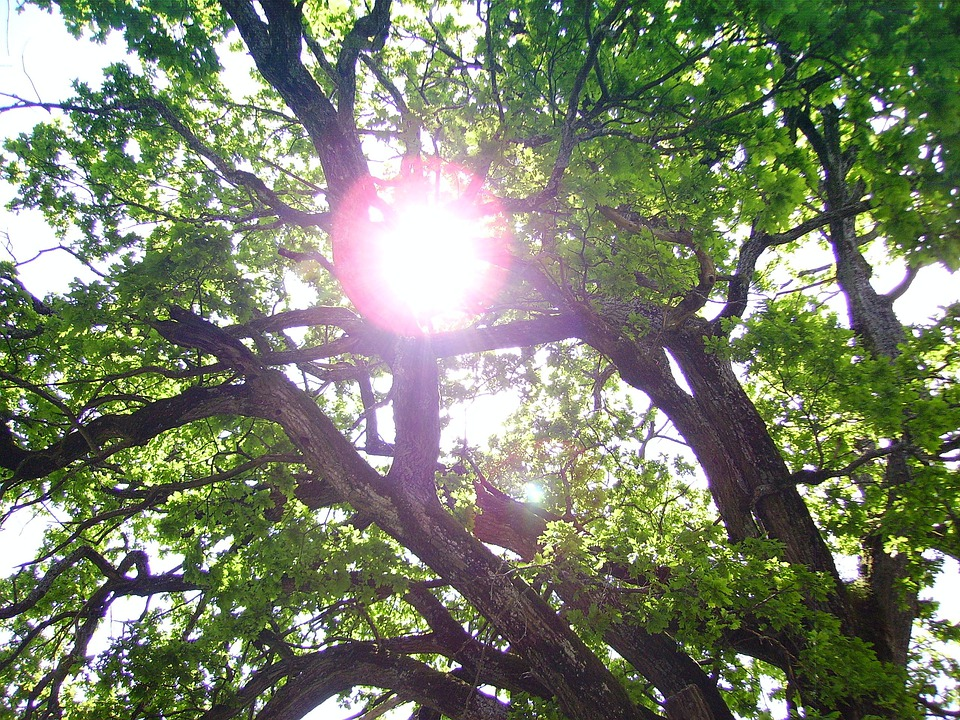 Tree, Sun, Green, Back Light, Old Oak