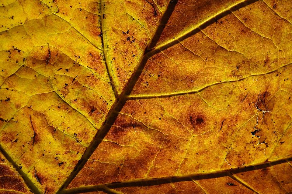 Leaf, Veins, Pattern, Back Light, Golden, Autumn