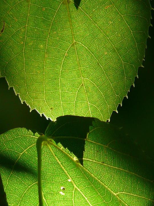 Linde, Tree, Close, Macro, Leaves, Green, Back Light