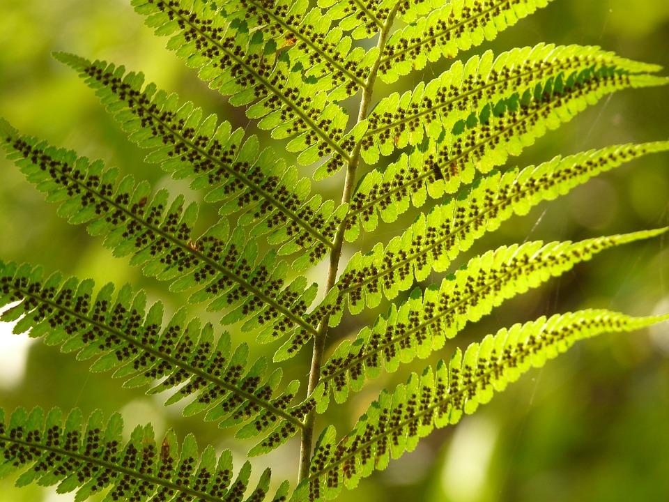 Fern, Back Light, Nature, Plant, Green