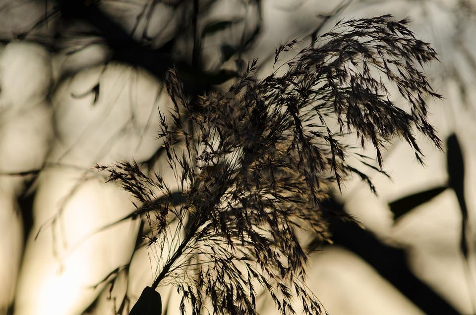 Reed, Nature, Grass, Grasses, Plant, Back Light, Autumn