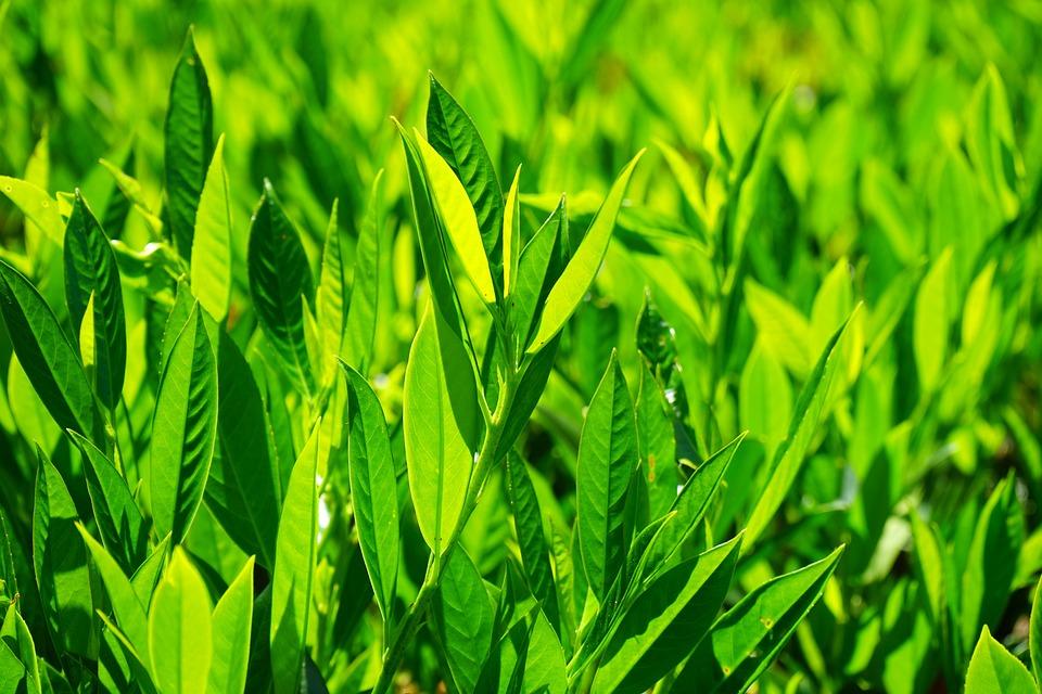 Leaves, Green, Back Light, Light Green, Shades Of Green