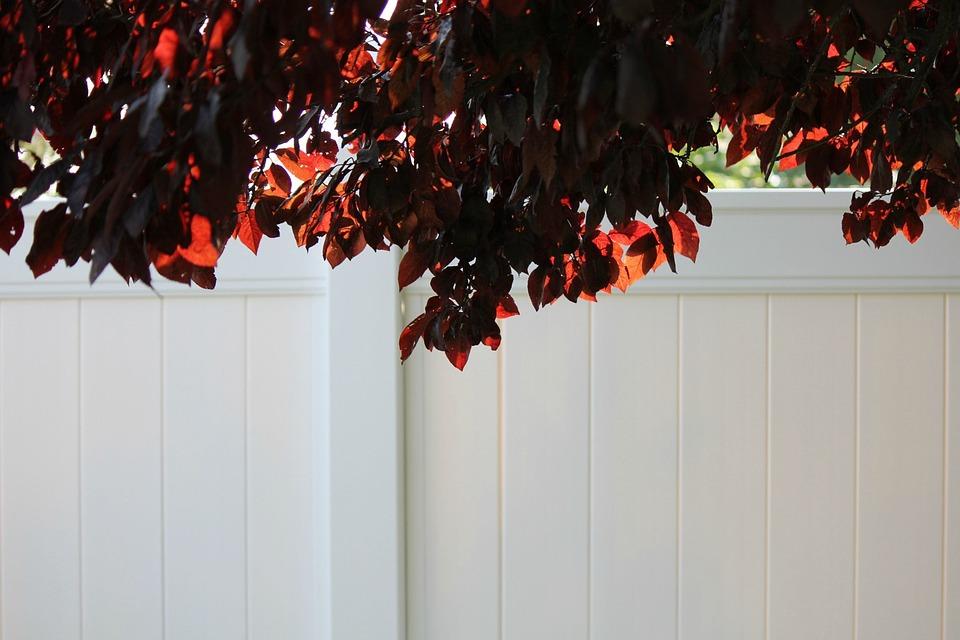 Flowering Plum Tree, White Vinyl Fence, Back Lit Leaves