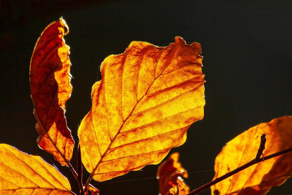 Autumn, Colorful, Leaves, Beech, Fund, Background