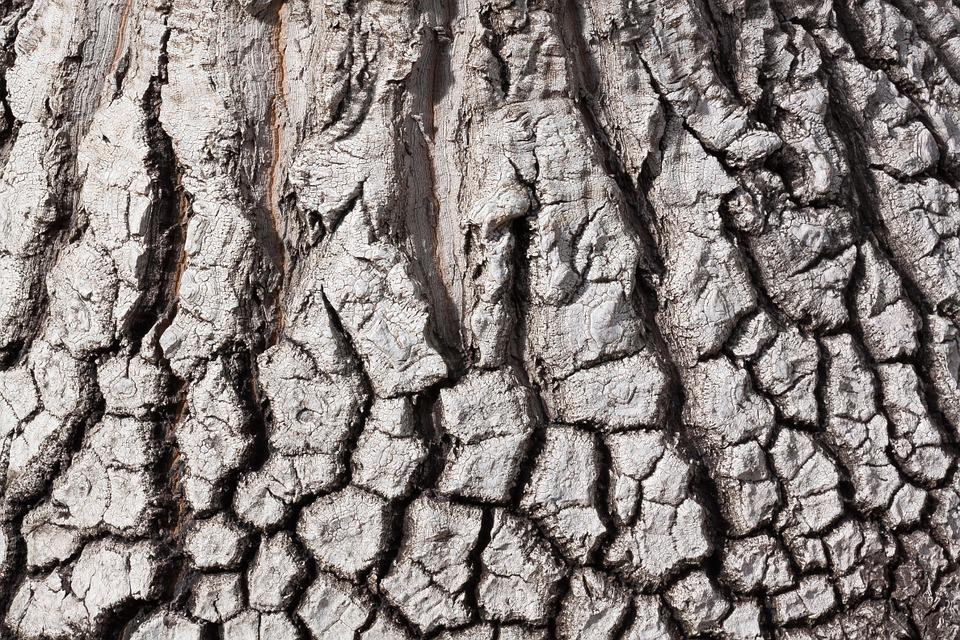 Bark, Beaucarnea Stricta, Structure, Background