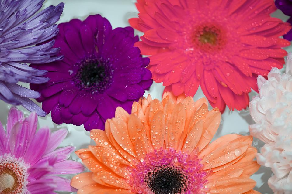 African Daisy, Attractive, Background, Bath, Beautiful