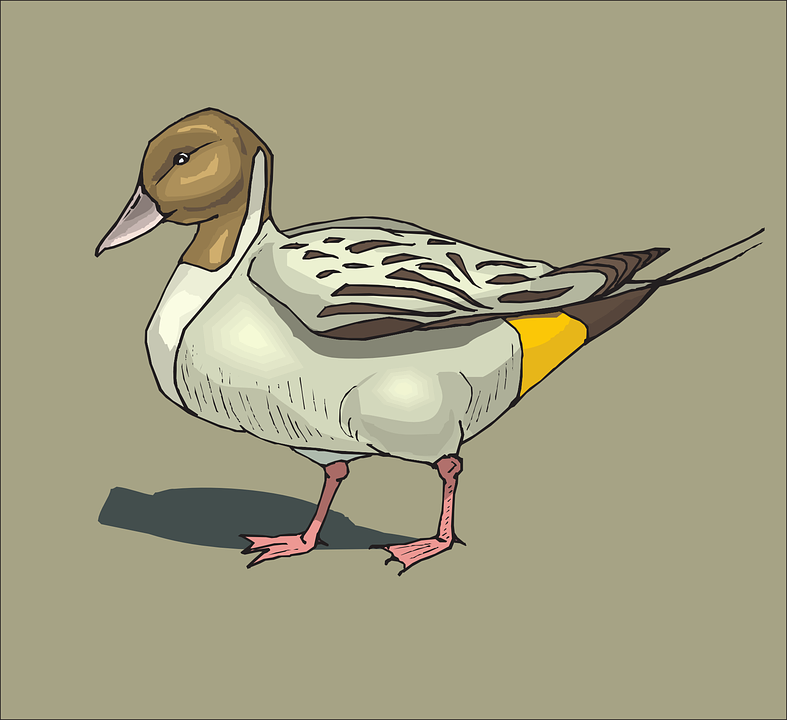 Duck, Pintailbird, Brown, Bird, Background, Wings