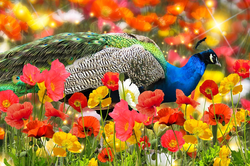 Background, Nature, Peacock, Bird, Garden, Summer