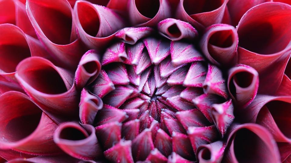 Dahlia, Flower, Blossom, Bloom, Background, Pattern