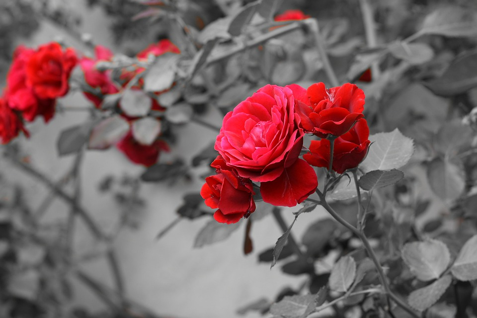 Roses, Red, Flowers, Background, Garden, Buds