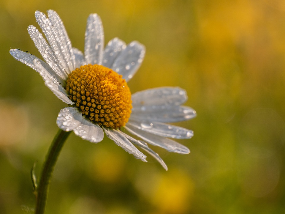 Daisy, Flower, The Dome, Sheet, Light, Background