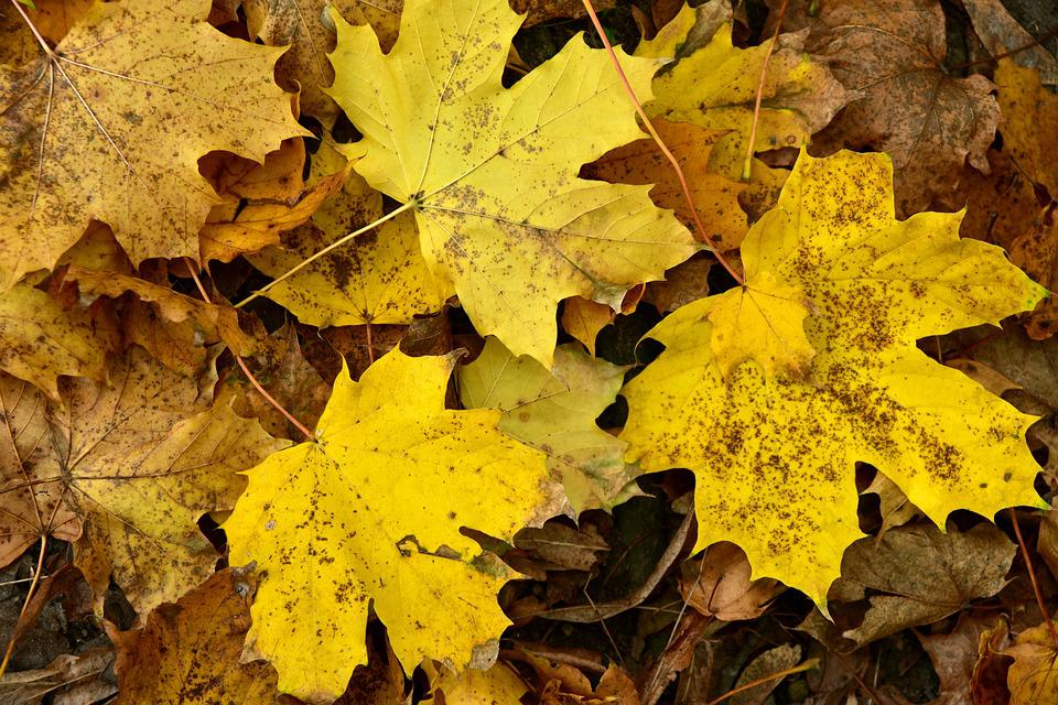 Leaves, Maple, Autumn, Background, Yellow, Favor