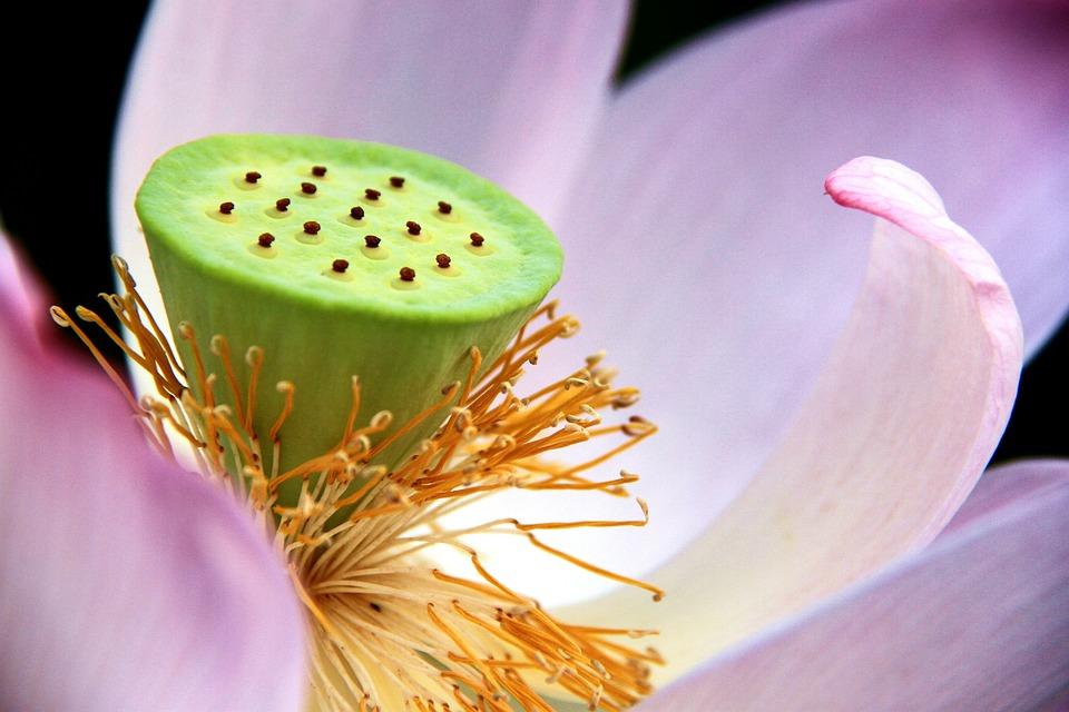 Flower, Nature, Background, Plant, Close-up, Lotus