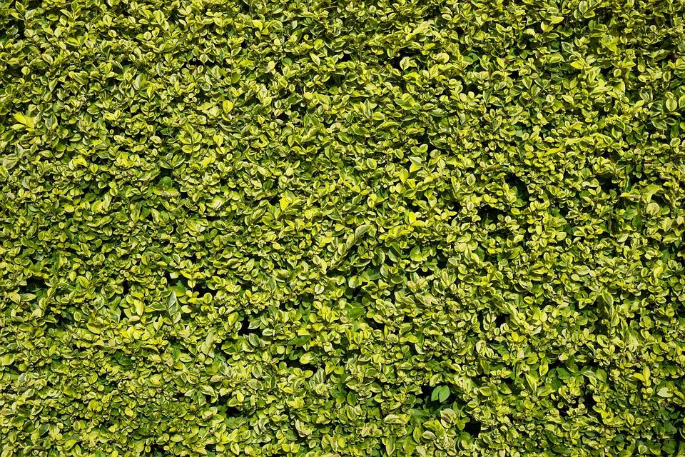 Hedge, Green, Leaf, Leaves, Background, Manicured