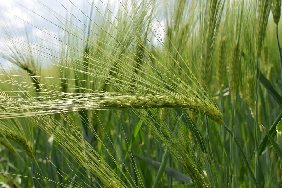 Background, Green, Wheat, Green Wheat, Close
