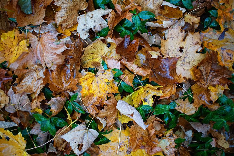 Leaves, Ivy, Ground, Autumn, Background, Nature